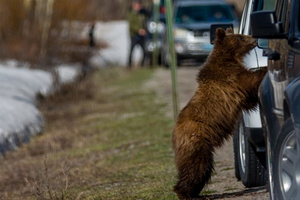 As the cubs get more and more accustomed to humans over time, they get more and more courageous in their pursuit of easy food sources and begin to get themselves in trouble.