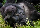 Recently a UK oil company, Soco International, has begun prospecting for oil in Virunga. Discovery of oil in the region will undoubtedly have negative consequences for the survival of the mountain gorillas. Soco's own environmental assessment report describes a likely increase in pollution, habitat damage and poaching to Virunga.: by rani, Views[86]
