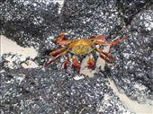 Sally Light Foot Crab: by ranizo, Views[114]