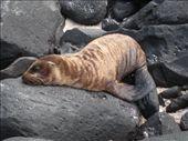 Baby Sea Lion: by ranizo, Views[178]