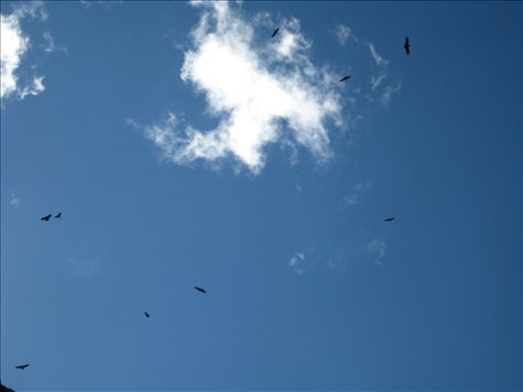 Baby condors circling a dead cow (thankfully we just saw the condors and not the cow!)