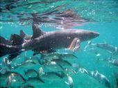 Nurse shark and friends at Shark Ray Alley. Photo by our guide, Carlos Ayala.: by rarakaki, Views[3629]