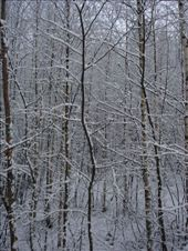 Birch forest in the snow: by ray-charles, Views[232]