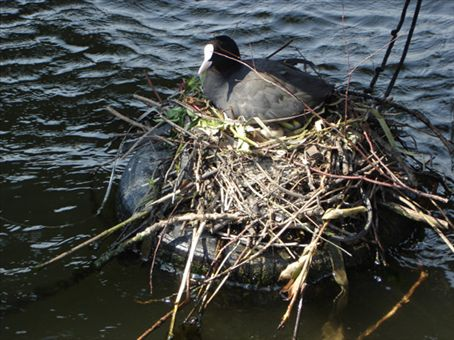 These cute coots were everywhere...