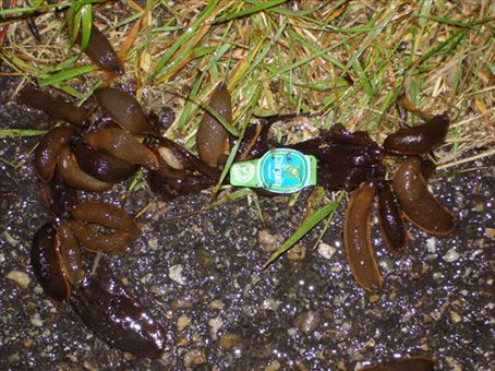 Really yuk giant slugs devouring a banana skin