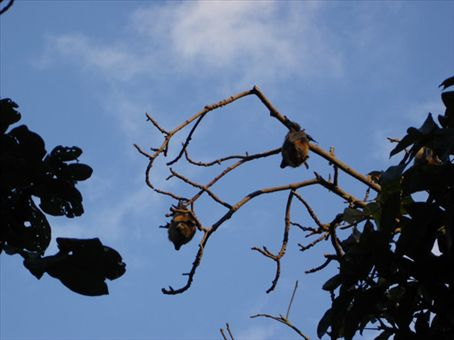 Bats that live in the Botanic Garden