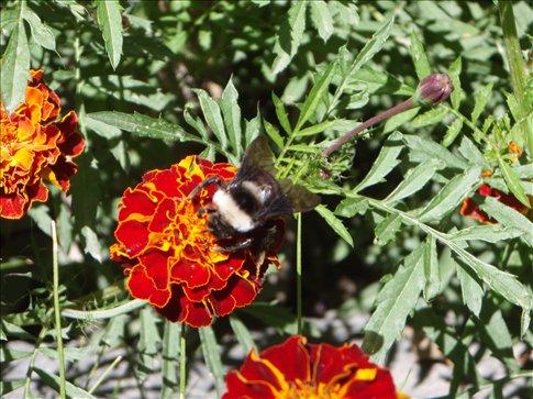 A really big bee