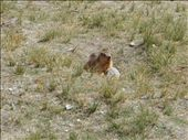 A marmot: by remlaph, Views[523]