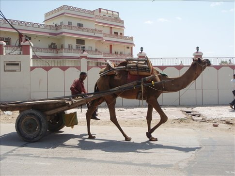 A working camel