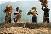 Hmong men preparing the rice for packing. Sapa, Vietnam.: by rice, Views[277]