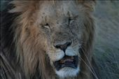 Masai Lion: by rich, Views[662]