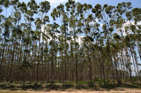 Zulu Trees