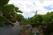 Rows and rows of strawberries: by rich, Views[259]