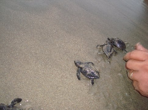 Baby turtles trying to make it to the ocean...