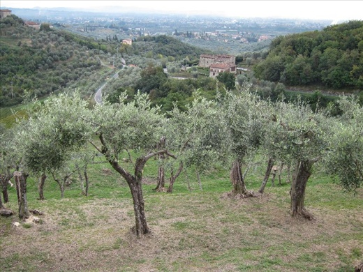 Olive groves around our villa