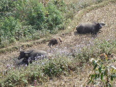 Bruce's Buffalo Buddies...they're sooooo relaxed!