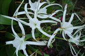 Cool Spidery Flowers: by roaming_reas, Views[242]