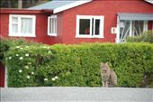 Pinewood Lodge resident cat, Queenstown, New Zealand: by robbiesue, Views[192]