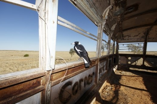 Magpie moments. An Australian magpie surveys the expanse of the Strzelecki desert from the shell of a dumped double decker bus. The Outback is always full of surprises.