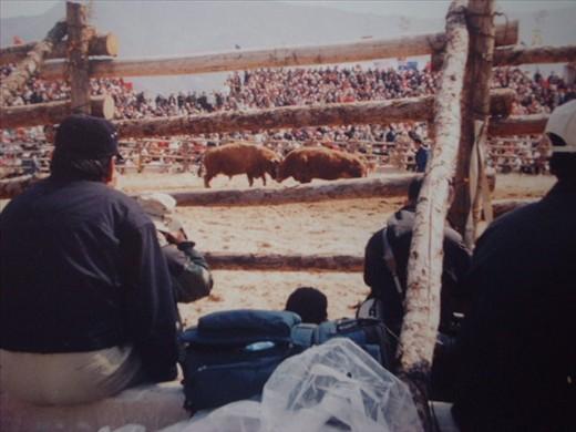 bulls battling head to head