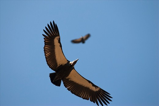 vultures comparison with what were they And it turns out that in some ways, vultures have a microbiome in reverse -- in comparison to humans, anyway humans have much more bacterial diversity in their stomachs and mouths than they do on.