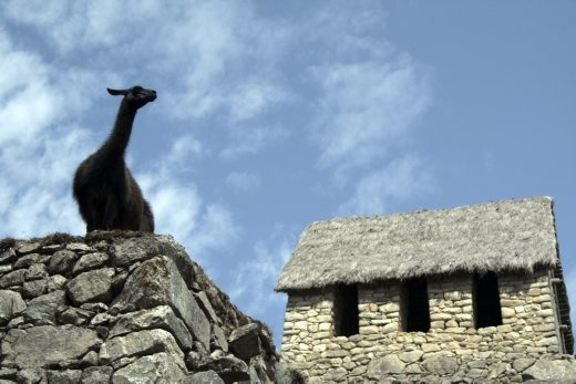 Does someone train the llamas to pose so perfectly at Machupicchu as he surveys his kingdom?