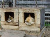 Husky Park huskies - they sleep away the summer!: by romsterrom, Views[288]