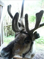impatient raindeer waiting for food: by romsterrom, Views[105]