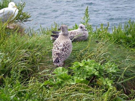 Baby seagulls at Port Isaac