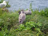 Baby seagulls at Port Isaac: by ronsan, Views[783]
