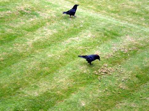 Two of the Tower Ravens