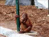 baby orangutan: by rosiecallinan, Views[188]