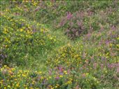 The hills were covered in these flowers.: by rtumicki, Views[225]