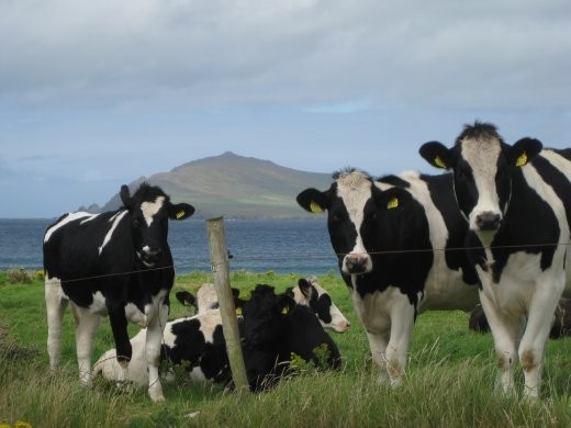 Happy cows by the coast.