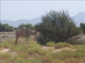 Token camel picture of the day.: by rtumicki, Views[101]