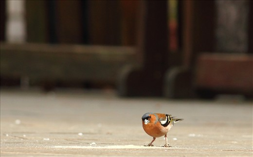 A Common Chaffinch, an air traveller expressing wonder at the lens on Trst carso