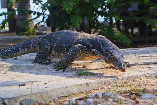 The big lizard in Indonesia called Biawak
