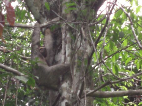 Fuzzy pic of a sloth hanging from a tree