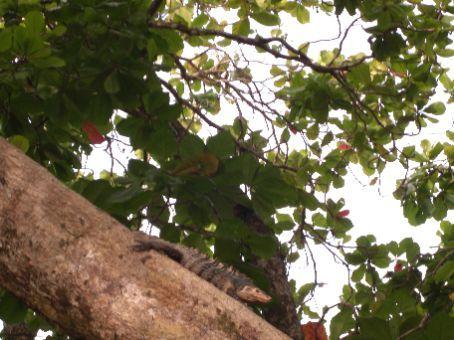 Iguana at Manuel Antonio