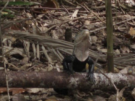 I think this was an Iguana at Manuel Antonio National Park