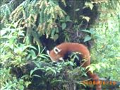 Red Panda - the state animal of Sikkim: by s_roy_biswas, Views[225]