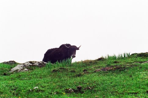 Wild Yak at Tukla