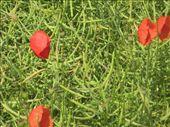 Wild poppies: by sair, Views[221]