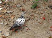 Sam Stephens pet pigeons (1 of 50): by salvation_karmy, Views[884]
