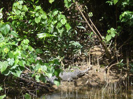 Cairns: crocodile