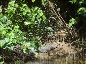 Cairns: crocodile: by sama, Views[194]