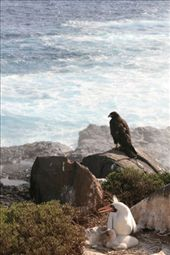 A Galapagos Hawk waiting for the Mother to move from her chick.  We were standing a meter away.  Incredible.: by sandn, Views[263]