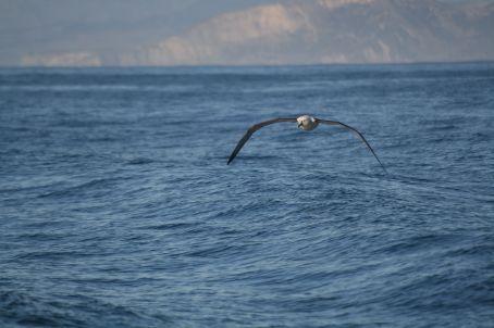 An Albatross following our boat