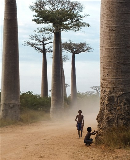 I'll try to tell in five images the story of the millions of fascinating men and women of Madagascar and of the thousands of living species found nowhere else on Earth. Let's start our journey on Baobab Alley, an iconic landmark of the country. Baobab trees can live up to a few thousand years and hold an important place in local customs and beliefs. Six of the world's eight species of baobabs can only be found in Madagascar.