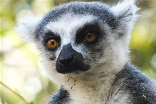 Possibly the most iconic animals of Madagascar, lemurs are nonetheless mysterious and elusive creatures, with some new species still being discovered today. However, most populations are sinking fast due to habitat destruction.
